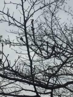 梅と桜の枝につぼみ