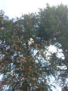 桜とサクラソウ