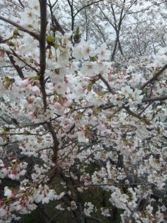 桜を見下ろす、桜を味わう