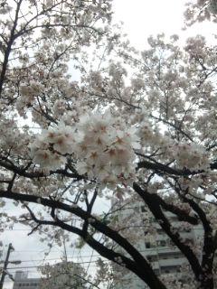 夕べの桜と今朝の桜