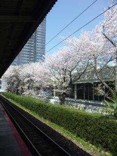 桜、レンギョウ