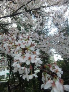 桜 嵐の後