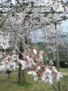 森のBecafe名残の桜