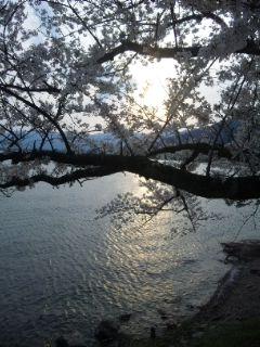 日曜日の海津の桜と琵琶湖