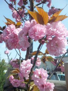 八重桜満開です