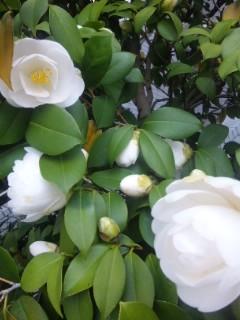 真っ白な椿満開の時