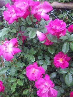 バラとラベンダーが咲いています