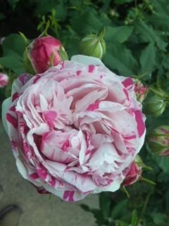 びわ湖大津館イングリッシュガーデン 今日のバラ