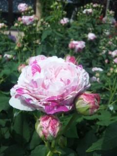 香りのよいバラ