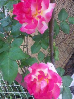 バラ柄×バラ柄