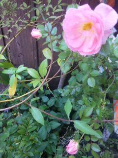 通勤途中に咲いていたバラ まだあります