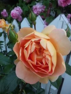 通勤途中に咲いていたバラたち