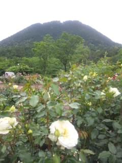 バラと三上山