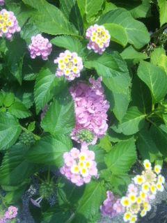 紫陽花、咲きながらドライフラワーに