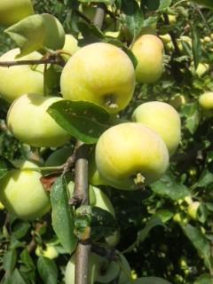 彦根のリンゴ