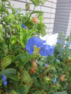 蓮、蒲と青花
