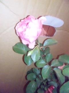 バラ様のご投宿