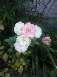 小さいバラ
