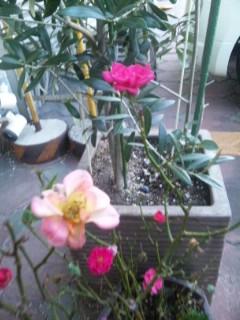 冬の小バラなど