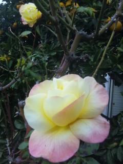 寒風の中のバラ