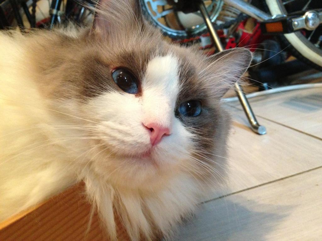 猫の青い目
