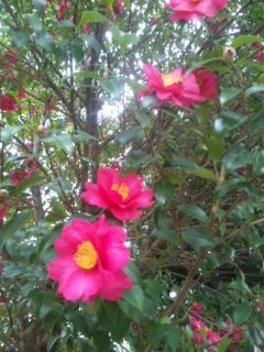 近江大橋無料化の日の山茶花