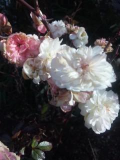 グラデーションの小バラ