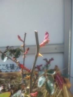 和バラ様の芽吹き