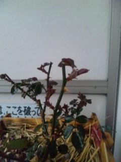 和バラ様の芽