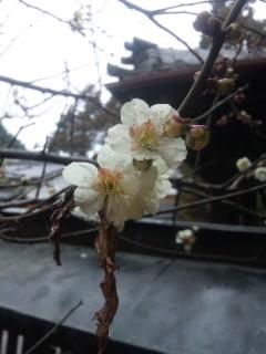 梅、山茶花、あせび