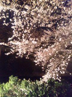 夜桜あひる