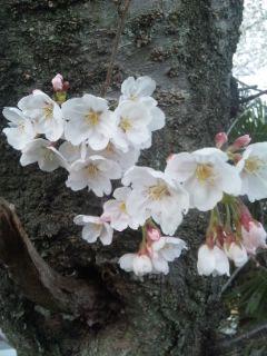 草津市の桜並木