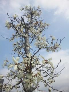 木蓮とコブシ