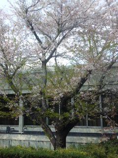 昨日の桜とチューリップ