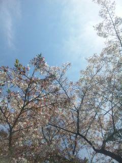 桜とチーズペッパーベーグルサンド