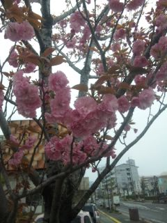 八重桜とシャクヤクのつぼみ