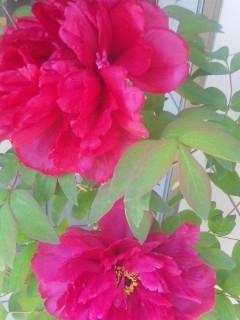 初夏の花、真打ち登場