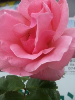 今日出会ったバラ