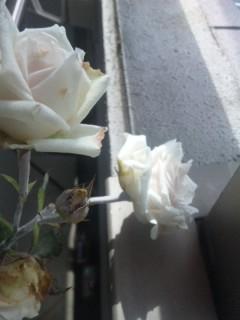 和バラ様咲いてます