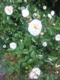 小バラも可愛い