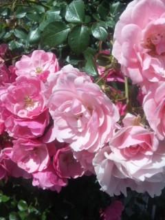 そしてバラは咲き乱れる