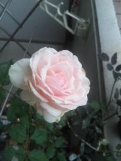 みさき様 開花再び