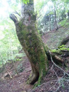 栃の木、栃の実