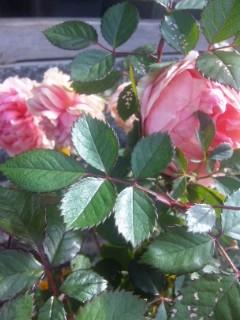 冬のバラと金の秋刀魚