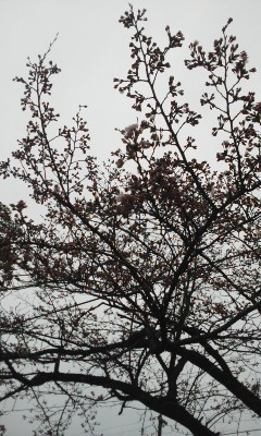 桜はつぼみ、飛び出しくんはバッチ