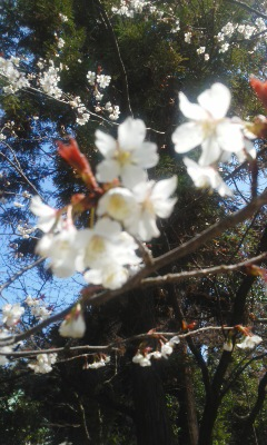 桜が咲き始めました