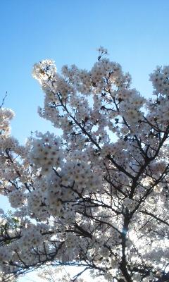 桜花見日和
