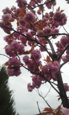 八重桜 満開
