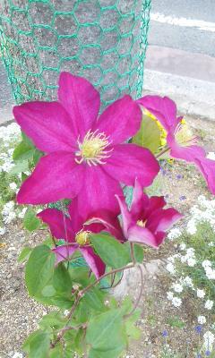 クレマチス、石楠花