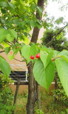 桜のサクランボ